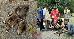 Thumbnail image for Lembu Berkepala Dua Dijumpai Mati, Menjadi Tanda Tanya Penduduk Kampung