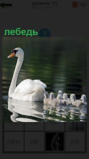 На поверхности водоема плывет лебедь и за ним несколько птенцов