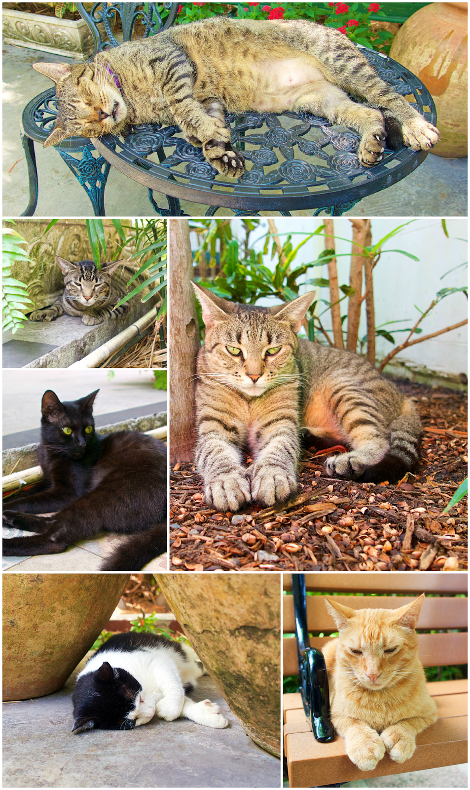 Hemingway Cats with 6 toes - Key West, FL