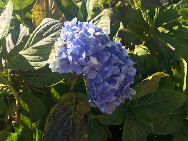 Sao Vicente, Madeira, Travel, Tour, Lido Tours, Guide, Hydrangea,