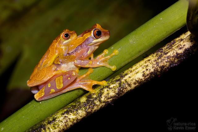 Hourglass Treefrog - Dendropsophus ebraccatus (in amplexus)
