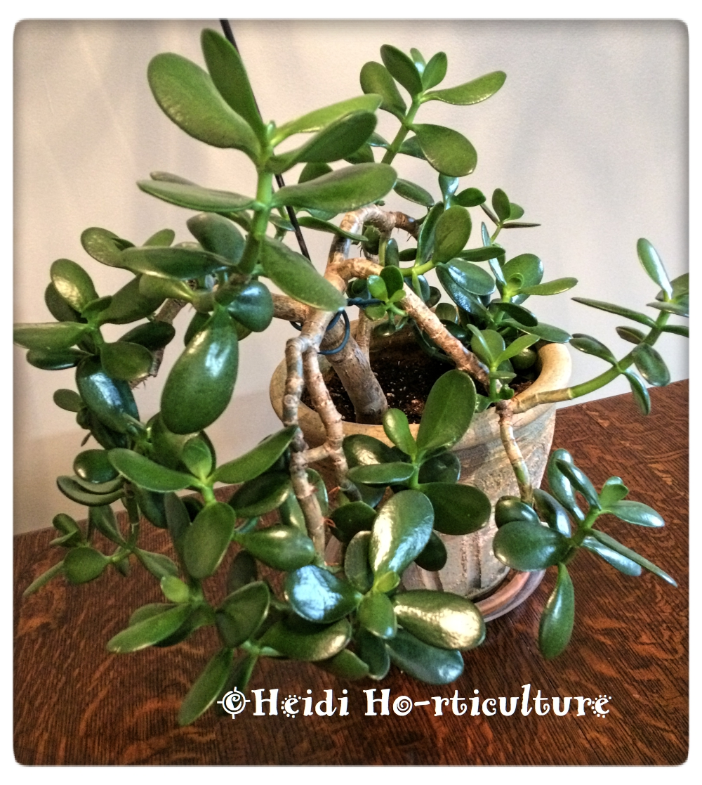 Watch How to Prune a Jade Plant video