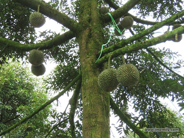 Raub Musang King Durian Trip
