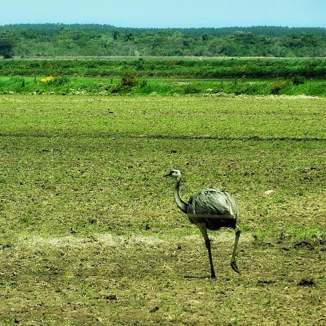 Ema em campo junto à estrada do Rincão, em Tavares