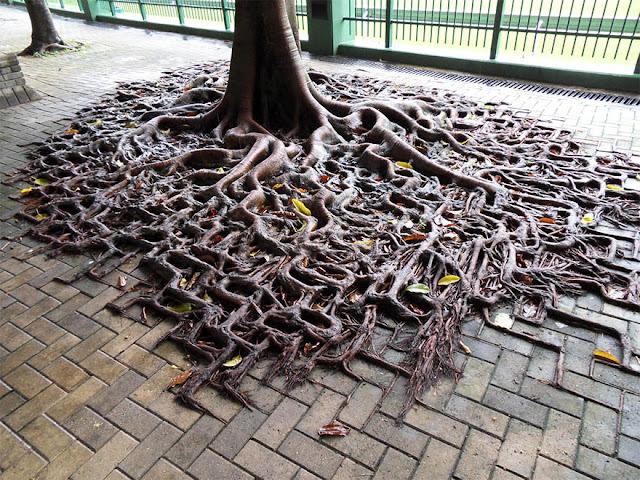 الجذور تتخلل الأرصفة وكأنها تصارع من أجل البقاء
