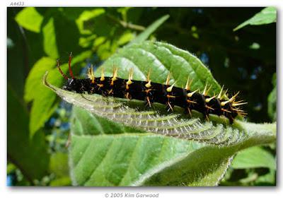 oruga de mariposa siproeta