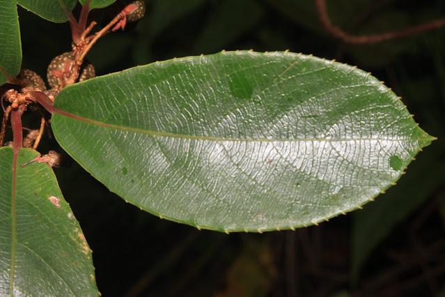 Actinidia callosa