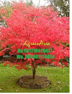 tukang taman menjual pohon mapel daun merah harga murah, tanaman maple red maple