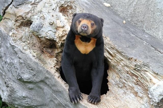 Gambar fauna beruang madu