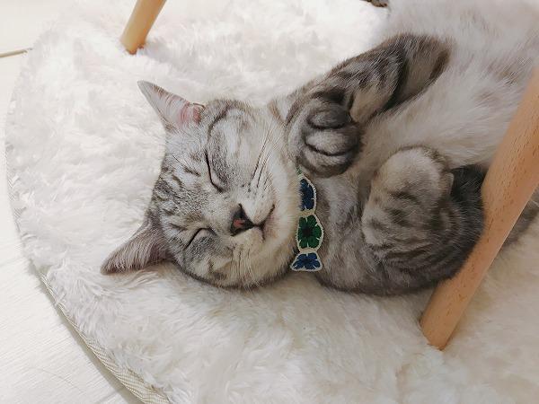 椅子の下に寝っ転がっているサバトラ猫