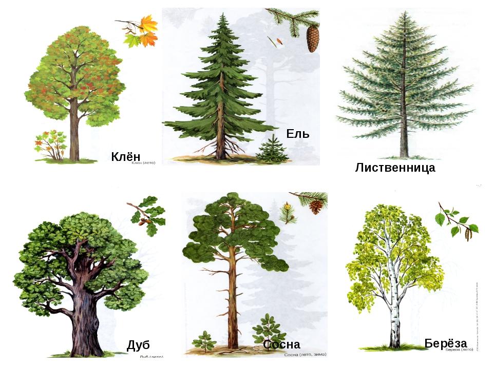С видами деревьев знакомство
