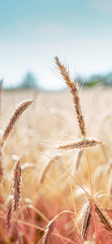 خلفية حقل من سنابل القمح اليانعة