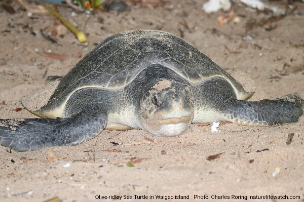 Watching sea turtle in Waigeo island