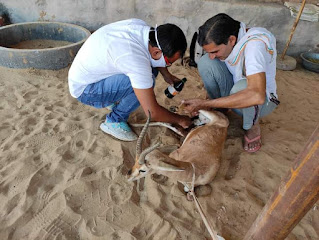 घायल हिरणों का उपचार करते हुए राजकीय पशु चिकित्सालय के चिकित्सा अधिकारी डॉक्टर मनोजजी जाट गोदारा और श्री ज़ंभेश्वर पर्यावरण एवं जीवरक्षा प्रदेश संस्था के प्रदेशाध्यक्ष रामरतन बिश्नोई