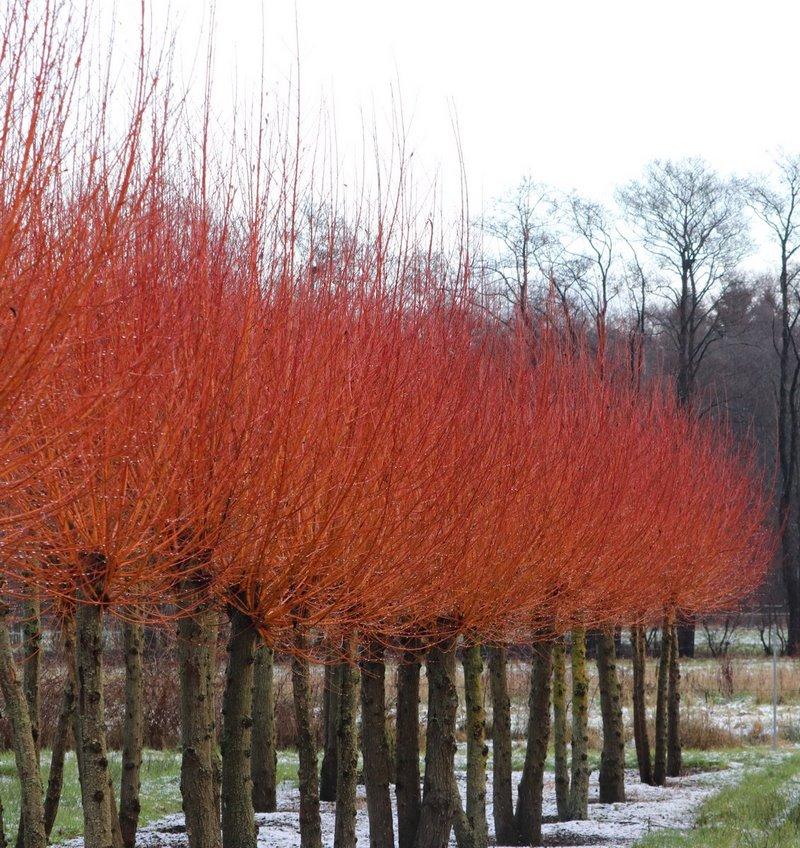 Tallos color rojo sauce (salix) en jardin invierno
