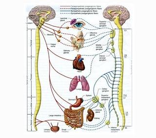 Saraf spinal atau saraf pada Tulang Belakang - berbagaireviews.com