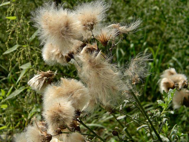łąka latem, kwiaty, nasiona