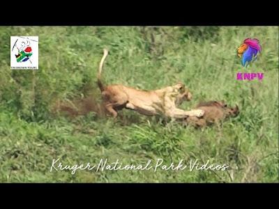 Singa berburu babi hutan.
