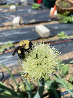 Bumblebee on Onion Flower