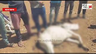 बटकाखापा में यूरिया वा महुआ खाने से 7-8 गायों की मौत