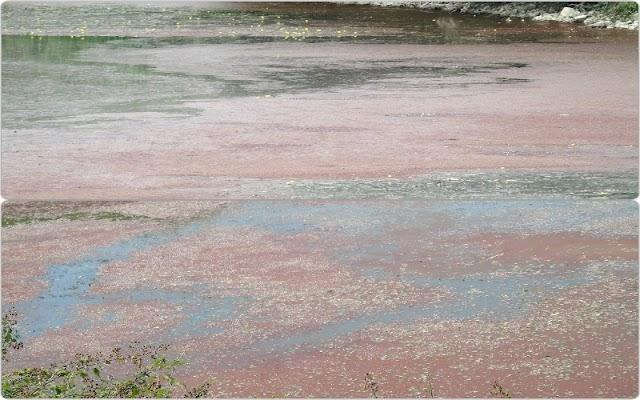 """ΠΑΜΒΩΤΙΔΑ: """"Κοκκίνισε"""" η λίμνη στην περιοχή Πόρος"""