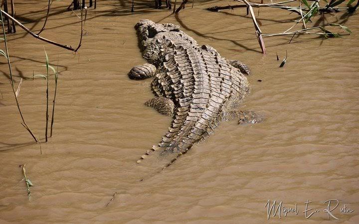 cocodrilo-Isimangaliso