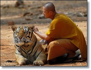Picture of man rubbing tiger