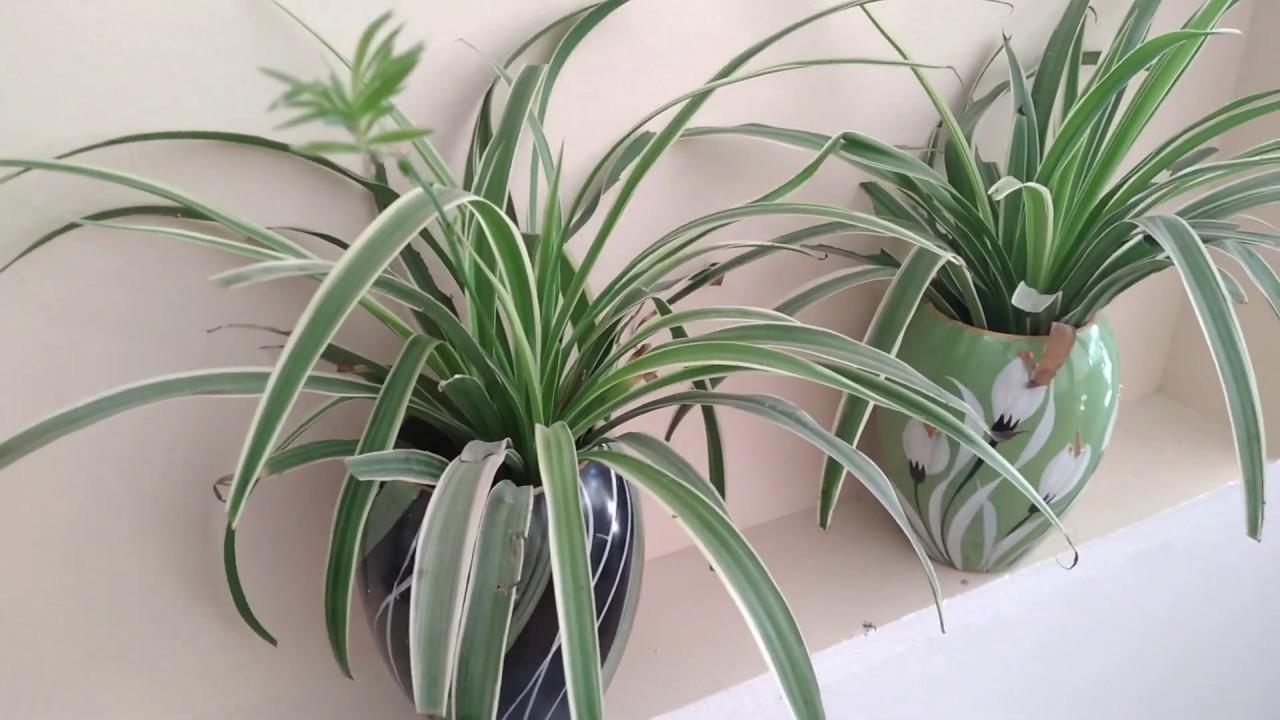 Cây cỏ lan chi có thể hút lấy cacbonic và các chất độc hại trong không khí như fomandehit, benzene trong không khí mà không cần ánh sáng