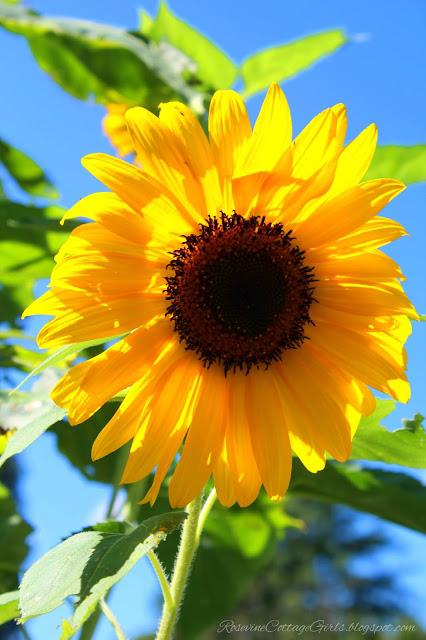 #RaisedBeds #GardenLife #FarmLifestyle #Farm #Plants #Flowers #Plants #GrowYourOwnFood ##Garden #OrganicGardening #GreenThumb #SimpleLiving #Gardening #Gardener #SouthernGarden #Arbors #HobbyFarm #SimpleLife #Sunflowers