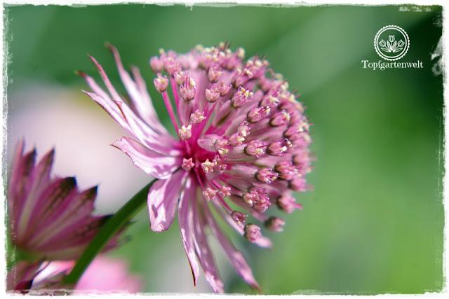 Gartenblog und Foodblog Topfgartenwelt Buchtipp Kreative Naturfotografie: Naturfotografie Tipps - Sterndolde in der Sonne