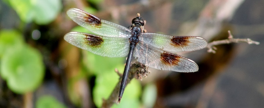 Four-Spotted Pennant/Brachymesia gravida
