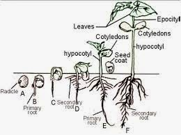 bioeducation: Hypogeal and Epigeal Germination