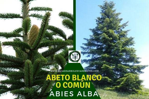 El Abeto Blanco o Común, Abies alba, árbol mediano de la familia abietáceas