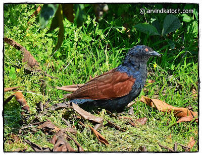 Greater Coucal, Coucal,