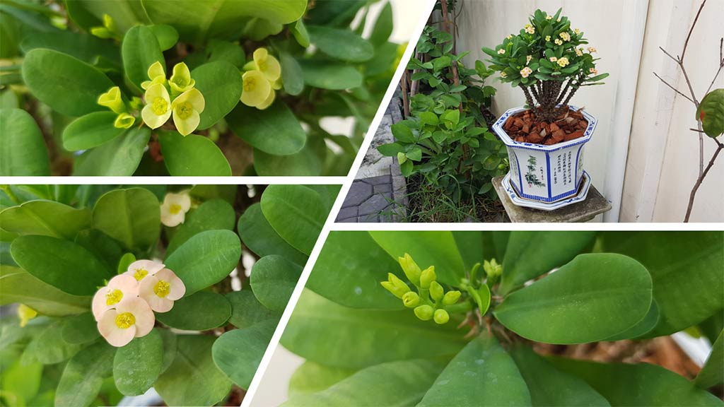 ต้นโป๊ยเซียนและดอก