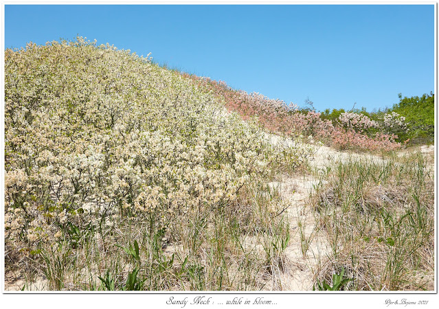 Sandy Neck: ... while in bloom...