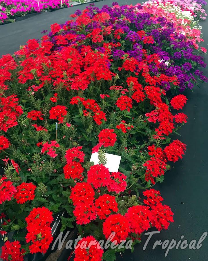 Cultivo intensivo de variedades de plantas del género Glandularia en el Instituto Nacional de Tecnología Agropecuaria (INTA). Se observa de primera la variedad `Extrema Roja INTA´