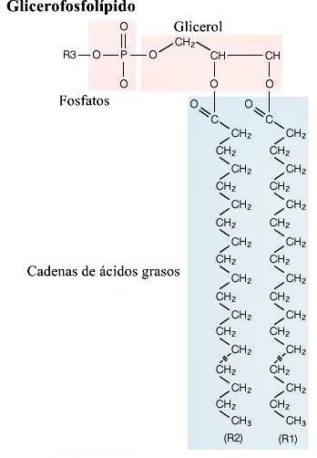 Fórmula estructural general de un glicerofosfolípido