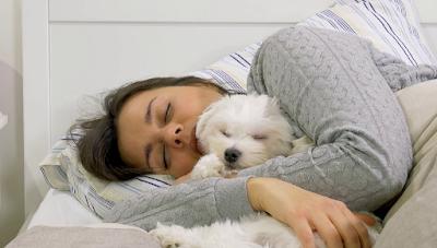 cachorro bichon maltes dormido