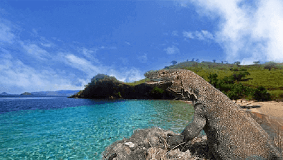 """Sejarah Pulau Komodo        Komodo adalah reptil darat terbesar di dunia. Hewan ini termasuk hewan yang terancam punah karena hewan ini merupakan hewan endemik. Endemik berarti, hewan ini hanya hidup di wilayah tertentu. Komodo hanya hidup di sebuah pulau yang bernama Pulau Komodo, Indonesia. Komodo termasuk jenis hewan karnivora, hewan ini memiliki bentuk lidah yang agak memanjang dan bercabang dua pada ujungnya mirip lidah ular. Penelitian menunjukkan bahwa ujung lidah yang bercabang ini berfungsi untuk """"mengecap"""" makanannya. Hewan ini biasanya membuat sarang di bawah tanah.  Komodo merupakan hewan yang sangat unik karena ia memiliki dua cara untuk bereproduksi. Pertama, dengan cara fertilisasi (pembuahan) diantara komodo jantan dan komodo betina. Cara ini merupakan cara reproduksi seksual. Cara kedua adalah dengan melalui """"Parthenogenesis"""". Cara ini membuat seekor komodo betina menjadi hamil tanpa melalui proses pembuahan. Akan tetapi, """"parthenogenesis"""" mengakibatkan semua telur yang dilahirkan melalui """"parthenogenesis"""" akan menjadi komodo yang selalu berjenis kelamin jantan. """"Parthenogenesis"""" diperkirakan berfungsi untuk mencegah kepunahan komodo.  Pada tahun 1910, Letnan Steyn Van Hens Broek pergi ke Pulau Komodo untuk membuktikan laporan pasukannya yang mengatakan bahwa terdapat binatang semacam naga di pulau ini. Broek bersama pasukannya yang sudah terlatih kemudian memutuskan"""