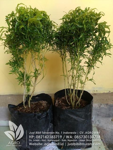 Jual Bibit Brokoli Hijau Murah Kediri