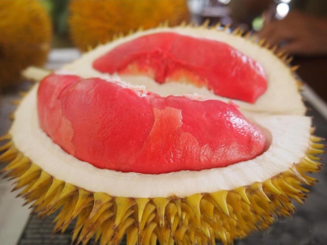 Bibit Durian Merah Kaki Tiga Subulussalam