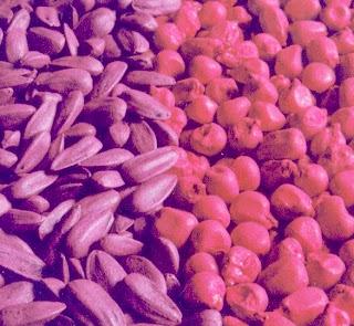 Choix de la semence