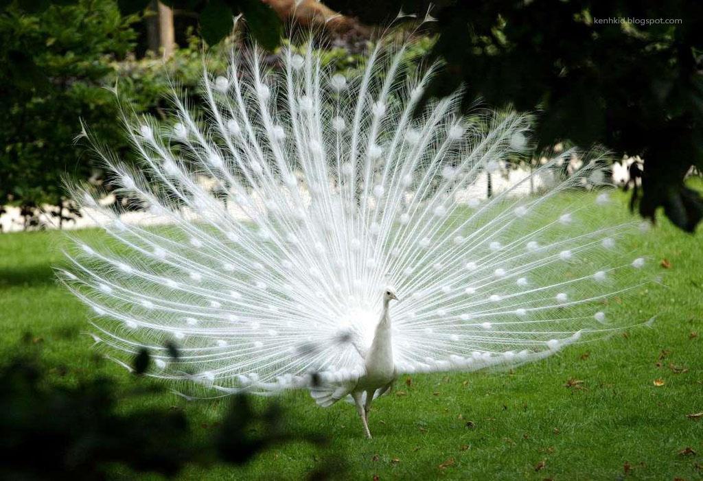 Con chim công bạch tạng
