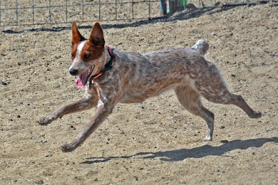 working Australian cattle dog