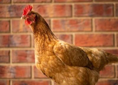 Ayam ISA Brown