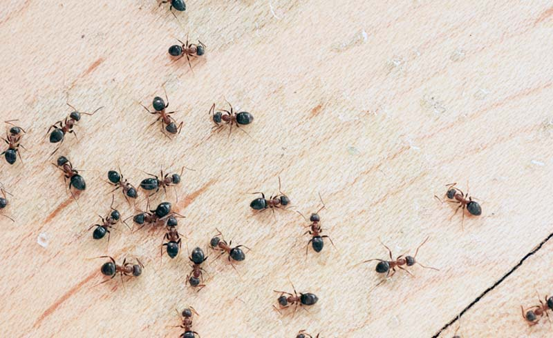 12 Simple Ways to Control Little Ants