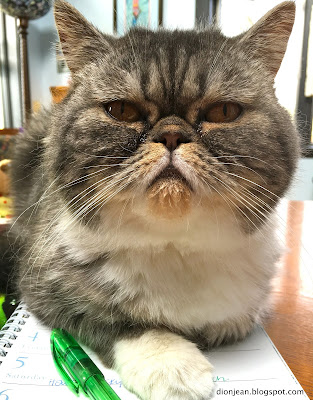 Popoki the exotic shorthair cat on my desk