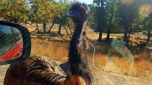 An emu gives us the evil eye...