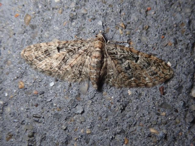 Eupithecia dodoneata